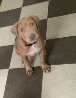American Staffordshire Terrier Puppies for sale in Cleveland, OH, USA. price: NA