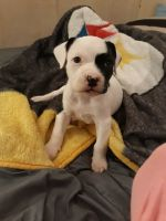 American Staffordshire Terrier Puppies for sale in Charlotte, NC, USA. price: NA