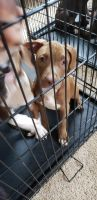 American Staffordshire Terrier Puppies for sale in Lake Wylie, SC 29710, USA. price: NA