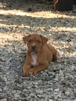American Staffordshire Terrier Puppies for sale in 1208 S 4th St, Arkansas City, KS 67005, USA. price: NA