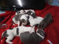 American Staffordshire Terrier Puppies for sale in Springtown, TX 76082, USA. price: NA