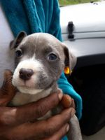 American Staffordshire Terrier Puppies for sale in Port Vue, PA, USA. price: NA