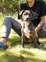 American Staffordshire Terrier Puppies for sale in Renton, WA, USA. price: NA