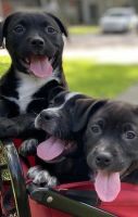 American Staffordshire Terrier Puppies for sale in Houston, TX 77040, USA. price: NA