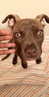 American Staffordshire Terrier Puppies for sale in Concord, NC 28025, USA. price: NA