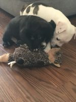 American Staffordshire Terrier Puppies for sale in Azle, TX 76020, USA. price: NA