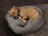 American Staffordshire Terrier Puppies for sale in Aldie, VA 20105, USA. price: NA