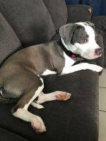 American Staffordshire Terrier Puppies for sale in Santa Ana, CA, USA. price: NA