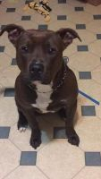 American Staffordshire Terrier Puppies for sale in Christiana, DE 19702, USA. price: NA