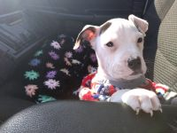 American Staffordshire Terrier Puppies for sale in Springfield, OH, USA. price: NA