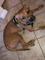 American Staffordshire Terrier Puppies for sale in Norristown, PA, USA. price: NA
