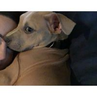 American Staffordshire Terrier Puppies for sale in Killeen, TX, USA. price: NA