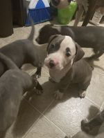 American Staffordshire Terrier Puppies for sale in Norfolk, VA, USA. price: NA
