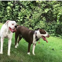 American Staffordshire Terrier Puppies for sale in 1600 S Pleasant Hill Dr, New Berlin, WI 53146, USA. price: NA
