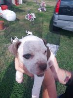 American Staffordshire Terrier Puppies for sale in Alvin, TX, USA. price: NA