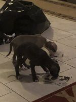American Staffordshire Terrier Puppies for sale in Lafayette, CO, USA. price: NA