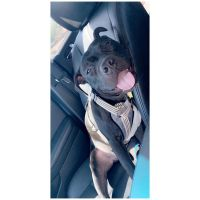American Staffordshire Terrier Puppies for sale in Mesa, AZ, USA. price: NA