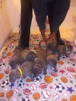 American Staffordshire Terrier Puppies for sale in Pittsburgh, PA, USA. price: NA