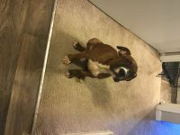 American Staffordshire Terrier Puppies for sale in Greensboro, NC 27407, USA. price: NA