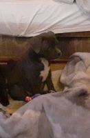 American Staffordshire Terrier Puppies for sale in Tucson, AZ 85736, USA. price: NA