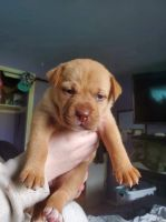 American Staffordshire Terrier Puppies for sale in Lakewood, WA, USA. price: NA