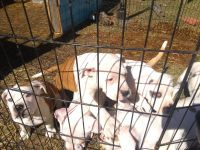 American Staffordshire Terrier Puppies for sale in Cottageville, SC 29435, USA. price: NA