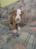 American Staffordshire Terrier Puppies for sale in Buffalo Lake, MN 55314, USA. price: NA