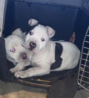 American Staffordshire Terrier Puppies for sale in Bloomington, CA, USA. price: NA