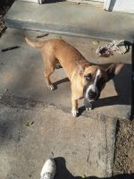 American Staffordshire Terrier Puppies for sale in 222 S Randolph St, Rockingham, NC 28379, USA. price: NA