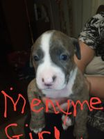 American Staffordshire Terrier Puppies for sale in Pensacola, FL, USA. price: NA