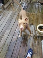 American Staffordshire Terrier Puppies for sale in College Park, GA, USA. price: NA