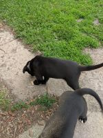 American Staffordshire Terrier Puppies for sale in Sabin, MN 56580, USA. price: NA