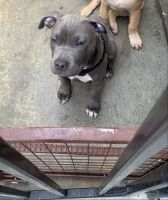 American Staffordshire Terrier Puppies for sale in Oceanside, CA, USA. price: NA