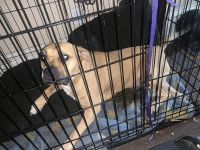 American Staffordshire Terrier Puppies for sale in New Kensington, PA 15068, USA. price: NA