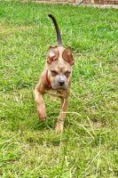 American Staffordshire Terrier Puppies for sale in Robinson, TX 76706, USA. price: NA