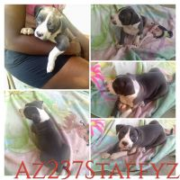 American Staffordshire Terrier Puppies for sale in Oxford, OH 45056, USA. price: NA