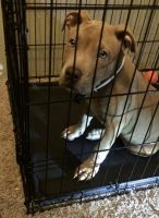 American Staffordshire Terrier Puppies for sale in Tampa, FL, USA. price: NA