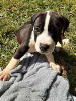 American Staffordshire Terrier Puppies for sale in Lancaster, KY 40444, USA. price: NA