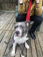 American Staffordshire Terrier Puppies for sale in Joppatowne, Abingdon, MD 21085, USA. price: NA