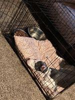 American Staffordshire Terrier Puppies for sale in Atlanta, GA, USA. price: NA
