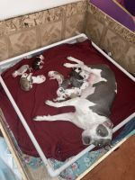 American Staffordshire Terrier Puppies for sale in Denver, CO 80239, USA. price: NA