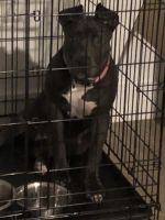 American Staffordshire Terrier Puppies for sale in Miramar, FL, USA. price: NA