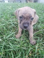 American Staffordshire Terrier Puppies for sale in St Cloud, FL 34769, USA. price: NA
