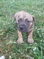 American Staffordshire Terrier Puppies Photos