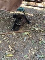 American Staffordshire Terrier Puppies for sale in San Antonio, TX 78210, USA. price: NA