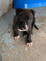 American Staffordshire Terrier Puppies for sale in Philadelphia, PA, USA. price: NA