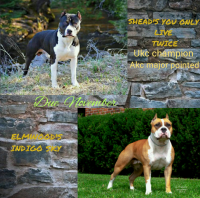 American Staffordshire Terrier Puppies for sale in Houghton Lake, MI, USA. price: NA