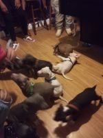 American Staffordshire Terrier Puppies for sale in St. Louis, MO, USA. price: NA