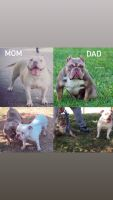 American Staffordshire Terrier Puppies for sale in Sacramento, CA, USA. price: NA