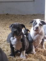 American Staffordshire Terrier Puppies for sale in Arco, ID 83213, USA. price: NA